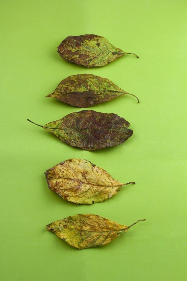 Jesień susi liście na zielonym tle fotografia royalty free