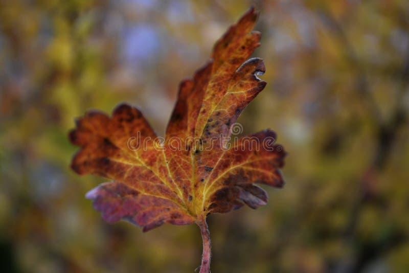 Jesień szczodrzena liść obraz stock