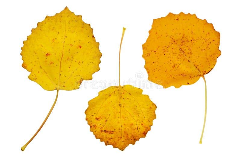 Jesień trzy żółtego liść zdjęcia royalty free