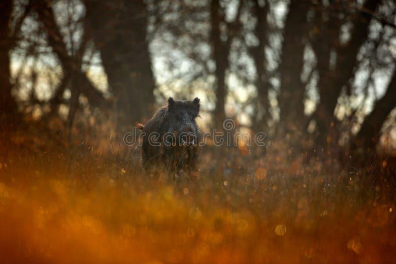 Jesień w lasowym Dużym Dzikim knurze, Sus scrofa, działająca trawy łąka, czerwony jesień las w tle Przyrody scena od natura obrazy royalty free