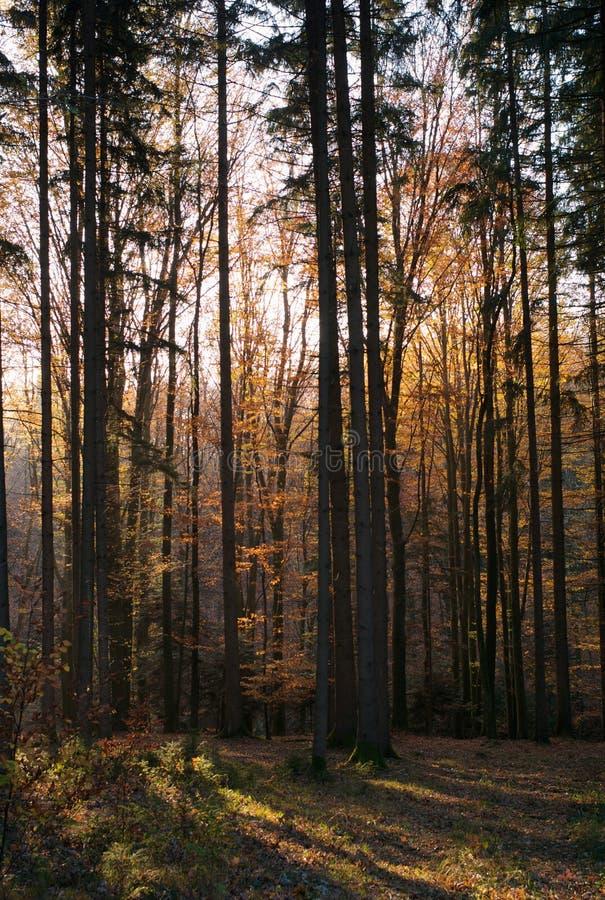 Jesień w lesie: Pomarańczowi liście, drzewa, Lekcy promienie zdjęcie royalty free