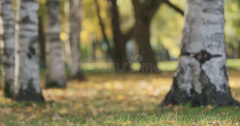 Jesień w miasto parku pod brzoz drzewami obrazy royalty free