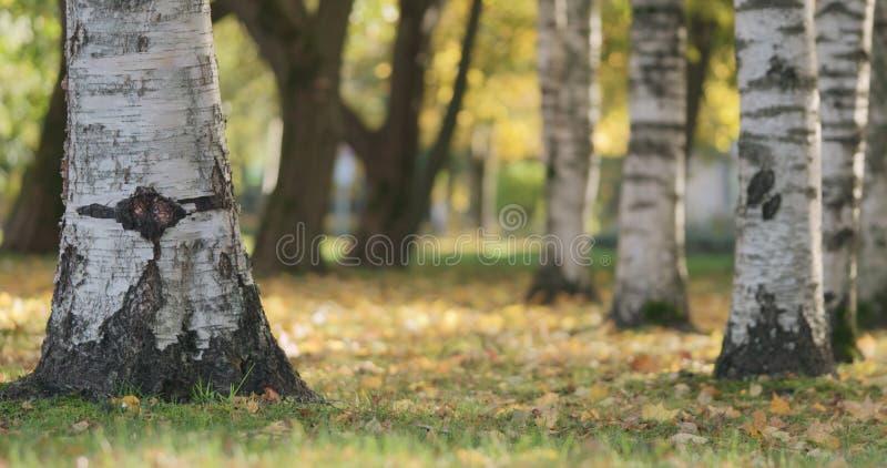 Jesień w miasto parku pod brzoz drzewami obraz stock