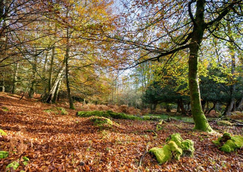 Jesień w Nowym lesie zdjęcia royalty free