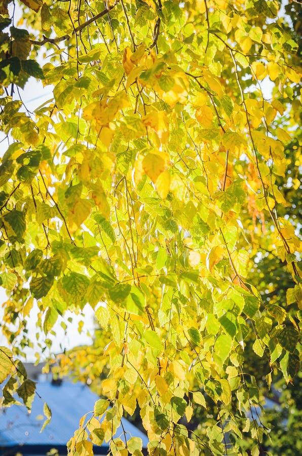 Jesień w parku: złoci brzozy drzewa liście w świetle słonecznym Piękny naturalny jesieni tło zdjęcie stock