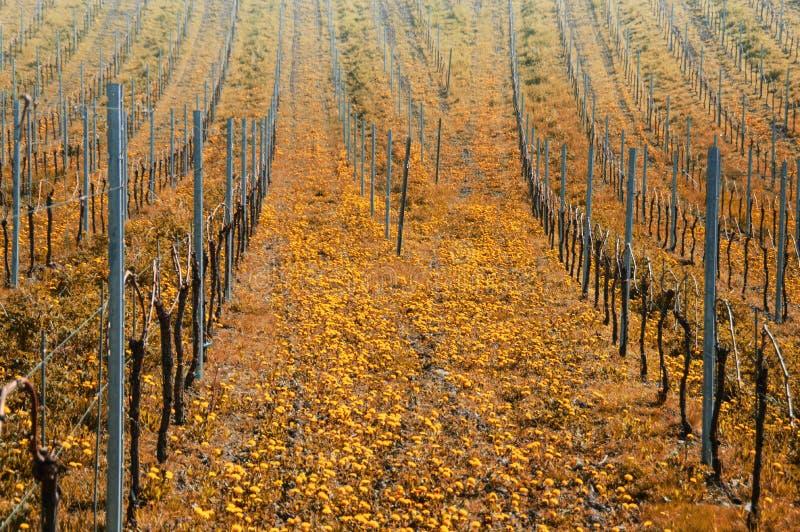 Jesień w winnicach fotografia stock