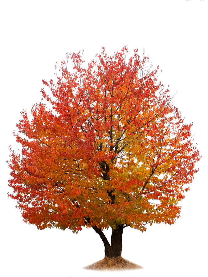 jesień wiśni odosobniony drzewny biel obrazy stock