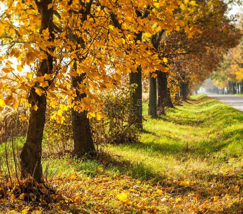 Jesień wiejski krajobraz z złocistymi drzewami z rzędu fotografia royalty free