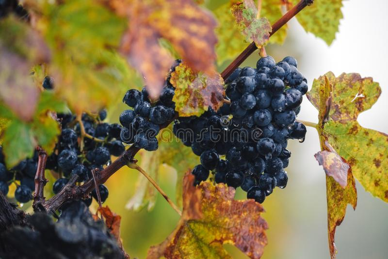 Jesień winnica, winogrona, Rosnąć winogrona, Palava południe Moravia fotografia stock