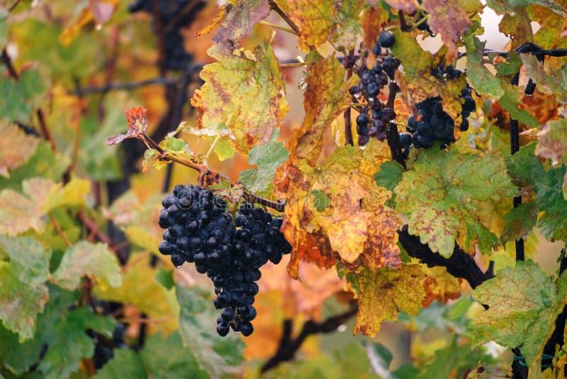 Jesień winnica, winogrona, Rosnąć winogrona, Velke BÃlovice Sout zdjęcie stock