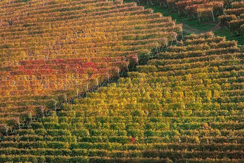Jesień winnicy w Włochy fotografia royalty free