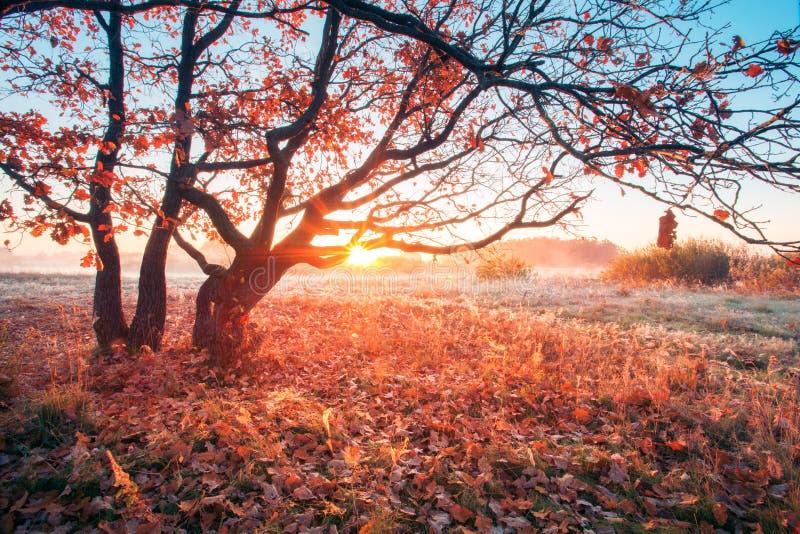 Jesień wschód słońca na łące Słońce błyszczy przez gałąź z czerwonym ulistnieniem zdjęcia stock