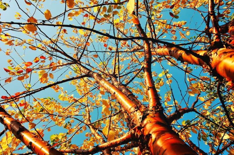 Jesień yellowed ptasiego czereśniowego drzewa - jesień pogodny krajobraz w roczników brzmieniach zdjęcia stock