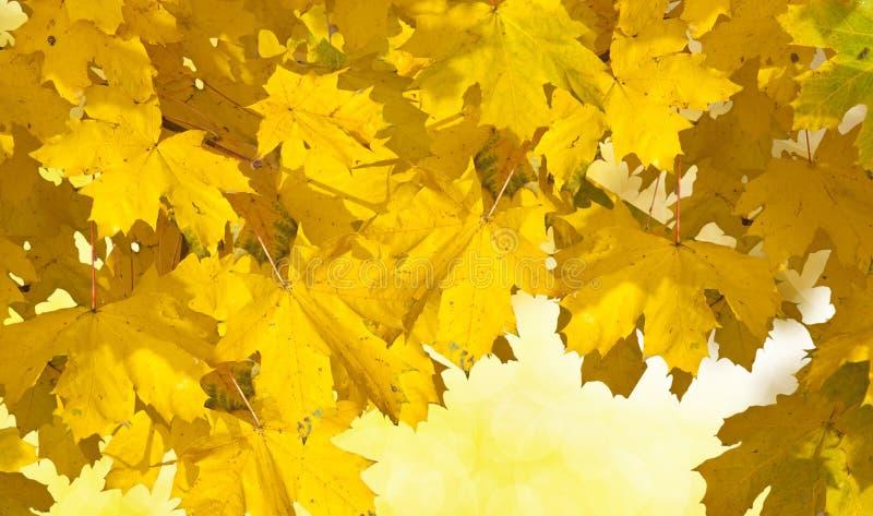 Jesień Złoci Liść Zdjęcie Royalty Free