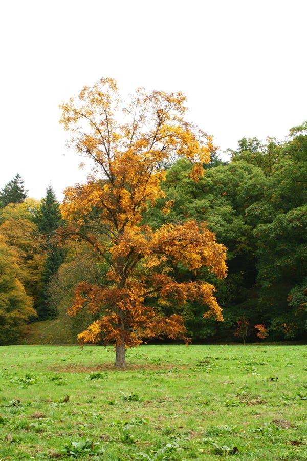 Download Jesień drzewo zdjęcie stock. Obraz złożonej z drzewo - 13333360