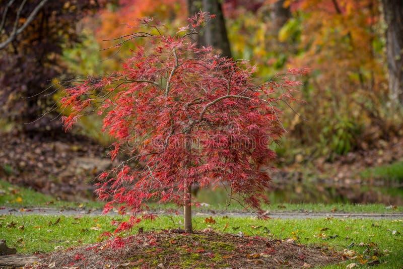 jesie? drzewo japo?ski klonowy zdjęcie royalty free