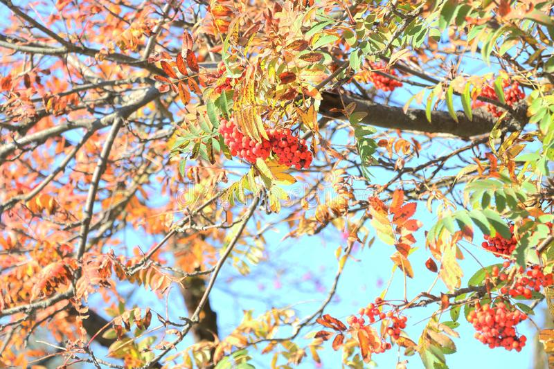 Jesie? krajobraz Czerwony rowan kopiec na drzewie Jesie? li?cie Z?ota i czerwieni li?cie na drzewie Rowan na tle sk zdjęcie royalty free