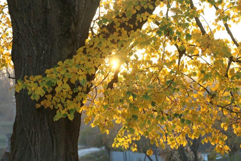 Jesie? krajobraz Gałąź lipowy z żółtymi liśćmi S?o?ce b?yszczy przez li?ci Słońce promieni przerwa przez gałąź zdjęcia stock