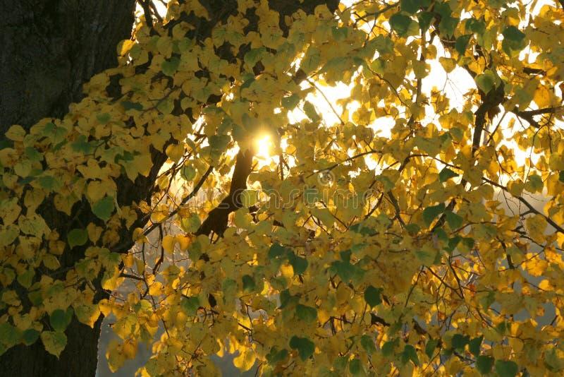 Jesie? krajobraz Gałąź lipowy z żółtymi liśćmi S?o?ce b?yszczy przez li?ci Słońce promieni przerwa przez gałąź obrazy royalty free