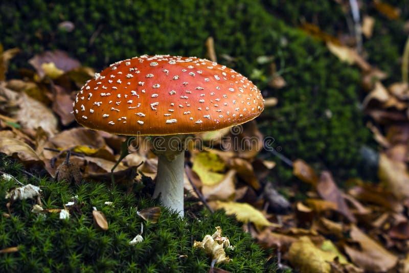jesienią amanita muscaria grzybów niebezpieczeństw obraz stock