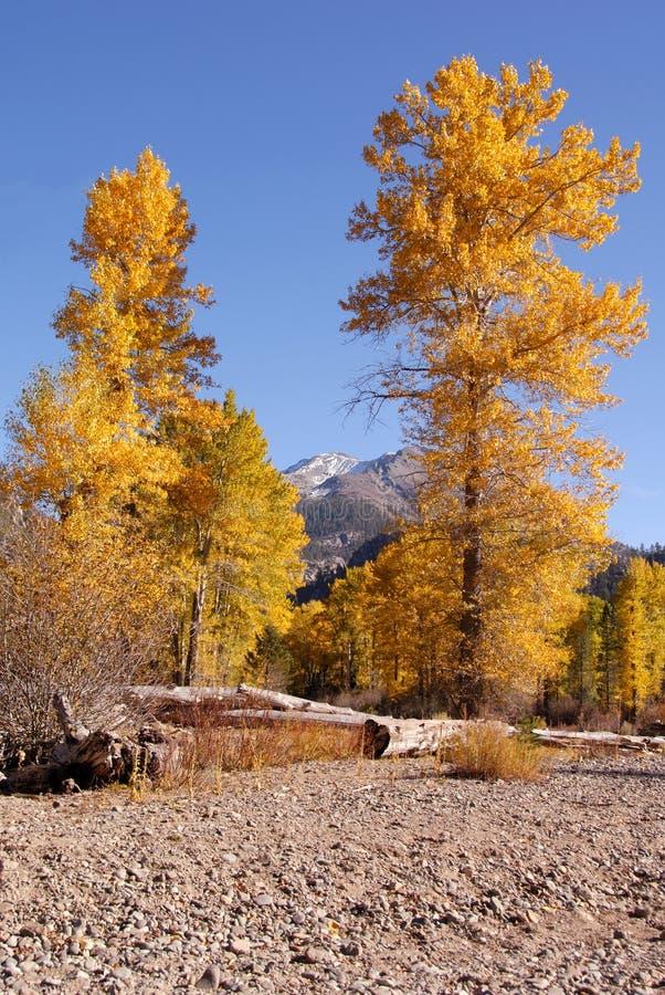 jesienią cottonwood zdjęcie stock