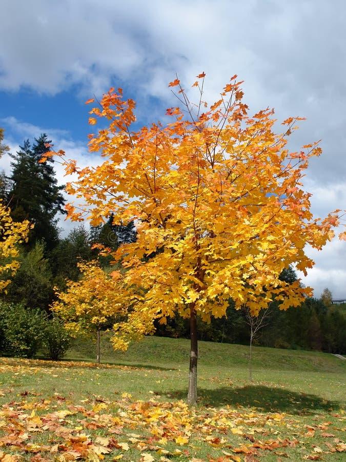 jesienią drzewo klonowy obraz stock