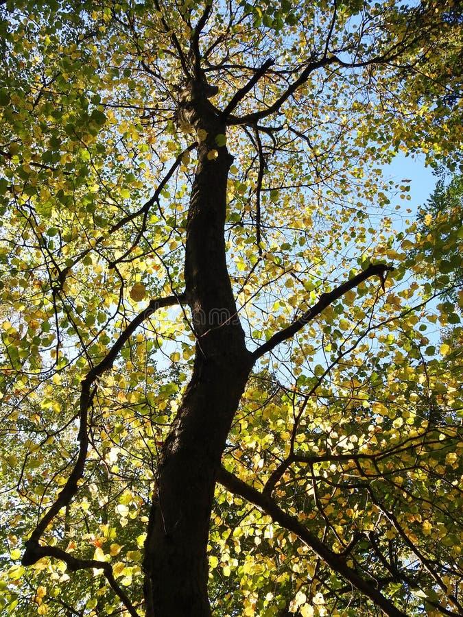 jesienią kolorowe drzewo zdjęcia royalty free