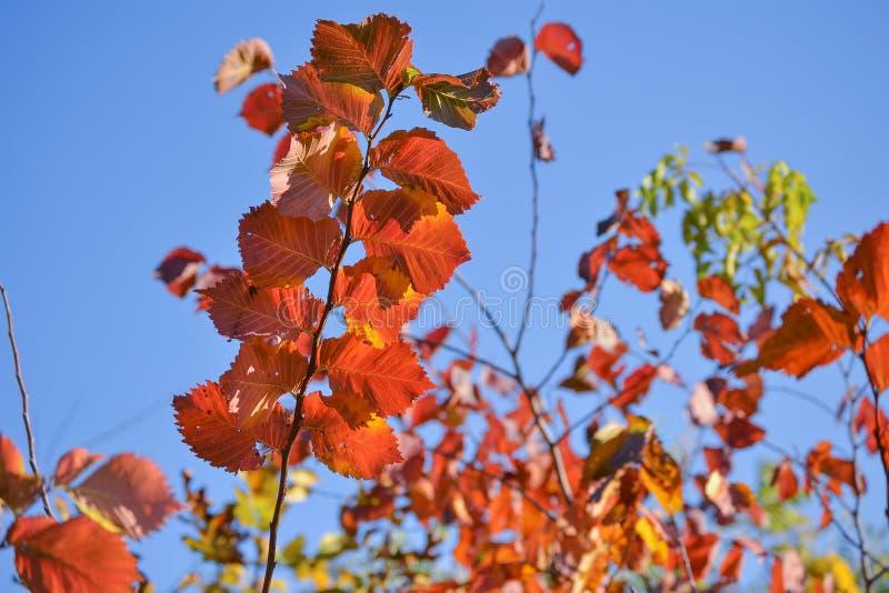 jesienią kolorowe tło Czerwoni jesień liście przeciw niebieskiemu niebu zdjęcie stock