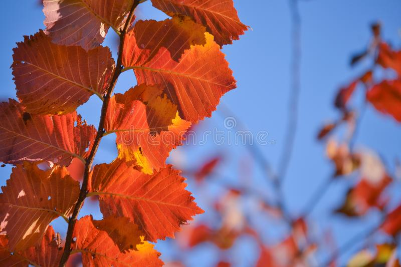 jesienią kolorowe tło Czerwoni jesień liście przeciw niebieskiemu niebu obrazy royalty free