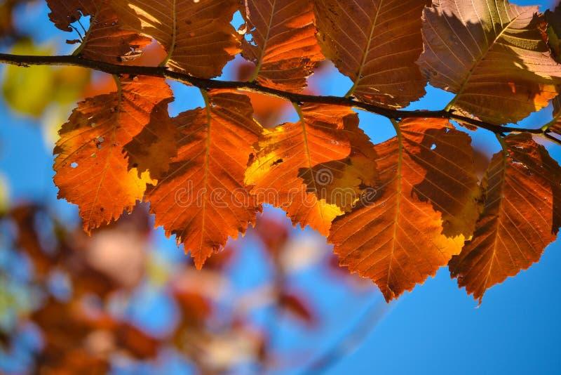 jesienią kolorowe tło Czerwoni jesień liście przeciw niebieskiemu niebu fotografia stock