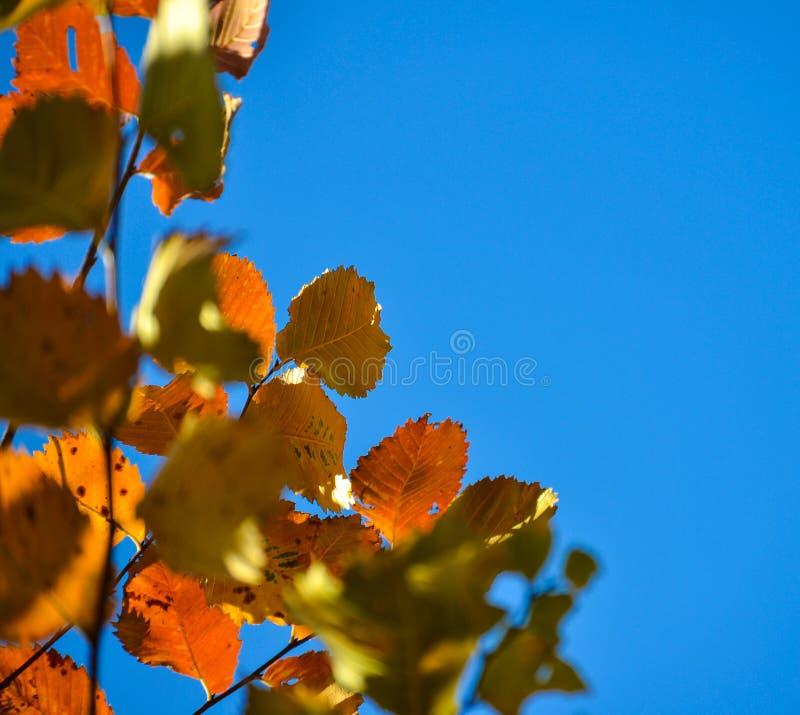 jesienią kolorowe tło Czerwoni jesień liście przeciw niebieskiemu niebu Miejsce dla inskrypci obrazy stock