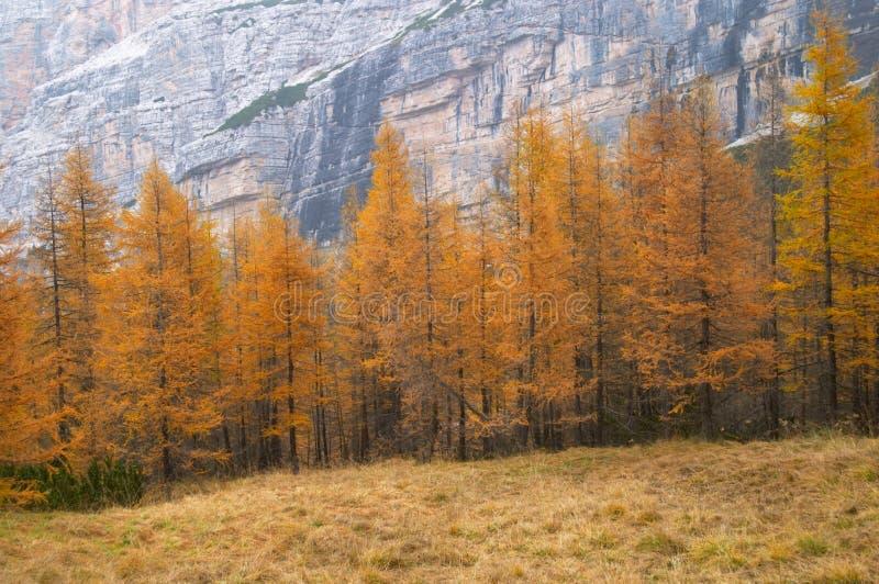 jesienią modrzewiowi drzewa obraz royalty free