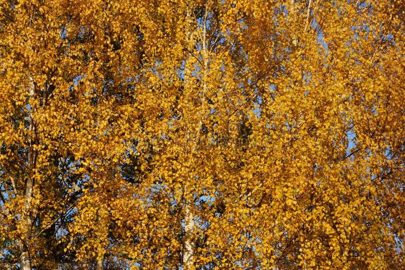 jesienią zbliżenie kolor tła ivy pomarańczową czerwień liści Brzoza z żółtym ulistnieniem złoty upadek Drzewo zdjęcie stock
