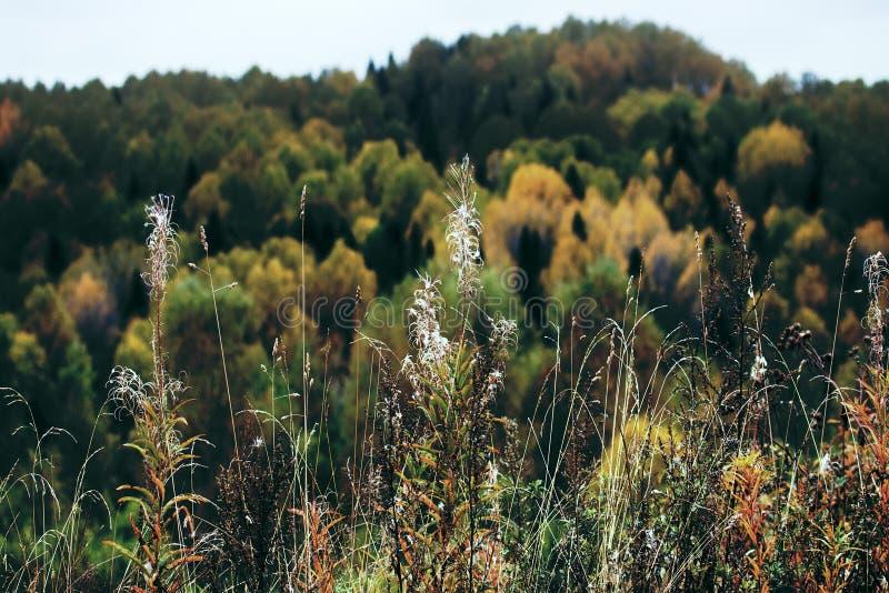 Jesieni łąki z suchą roślinnością na tle żółty las fotografia stock