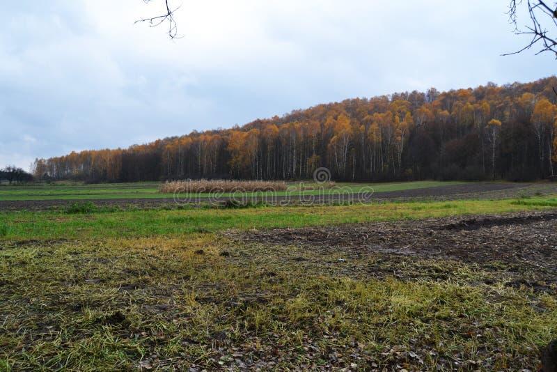 Jesieni żółtej brzozy las zdjęcie royalty free