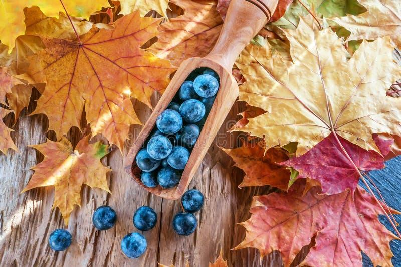 Jesieni żniwa błękitne jagody sloe w drewnianej miarce z drzewa oliwnego jesienią zbliżenie kolor tła ivy pomarańczową czerwień l obraz stock