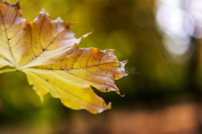 Jesieni abstrakcjonistyczny tło z żółtym liściem klonowym obrazy royalty free