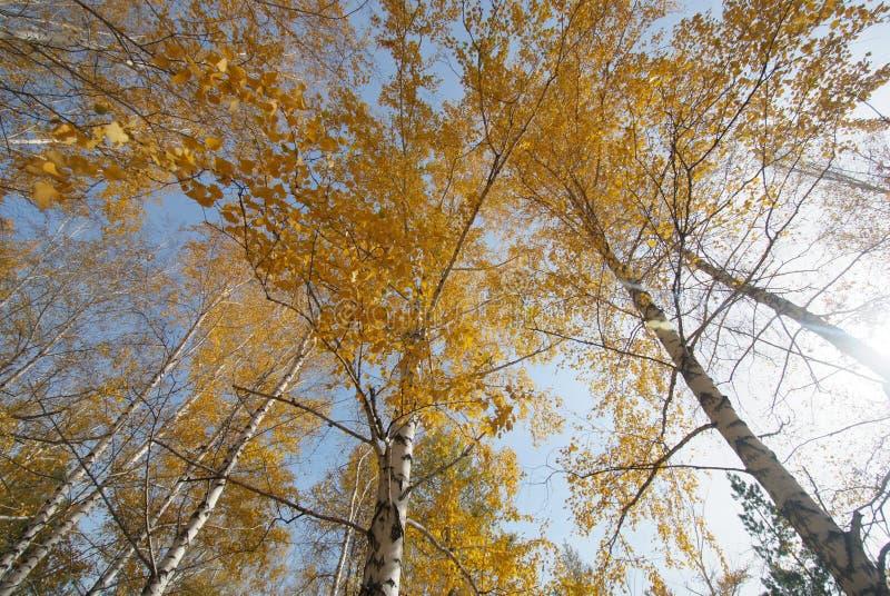 Jesieni brzozy obrazy royalty free