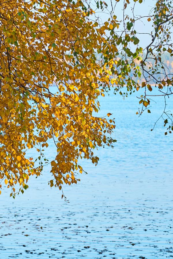 Jesieni brzozy brunchs z kolorem żółtym opuszczają przeciw błękitne wody tłu obraz royalty free