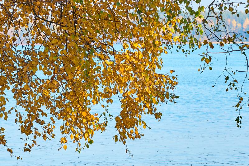 Jesieni brzozy brunchs z kolorem żółtym opuszczają przeciw błękitne wody tłu fotografia stock
