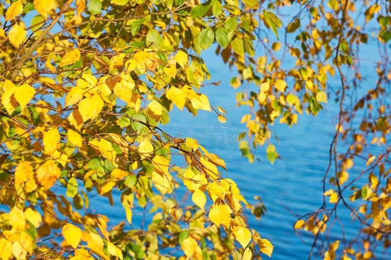 Jesieni brzozy brunchs z kolorem żółtym opuszczają przeciw błękitne wody tłu zdjęcia royalty free