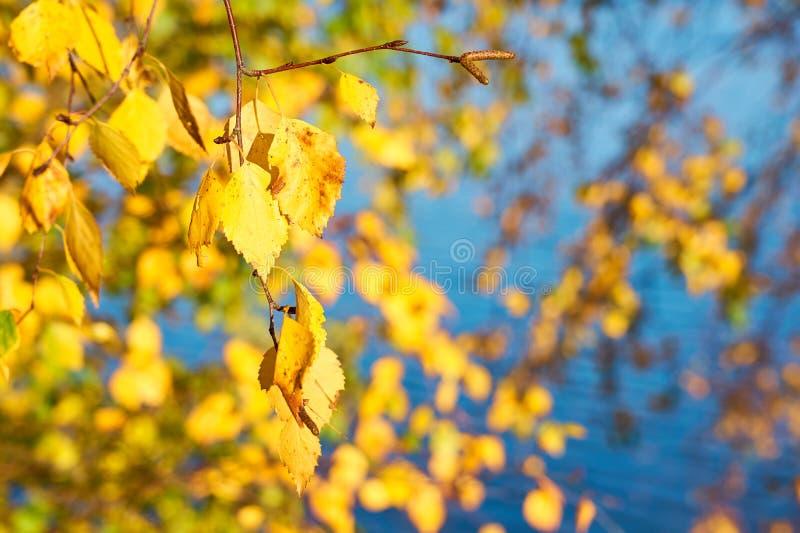 Jesieni brzozy brunchs z kolorem żółtym opuszczają przeciw błękitne wody tłu obrazy stock