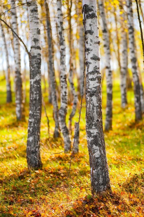 Jesieni brzozy drzewa złoty żółty lasowy tło obrazy stock