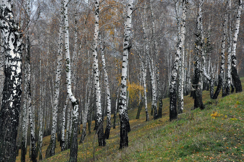 Jesieni brzozy las fotografia stock