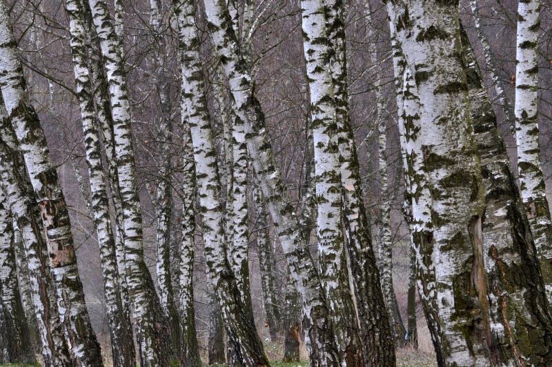 Jesieni brzozy las obraz royalty free