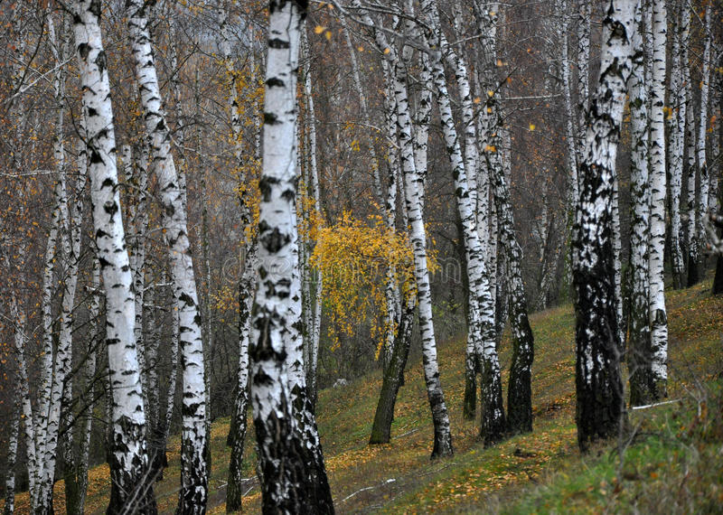 Jesieni brzozy las zdjęcia stock
