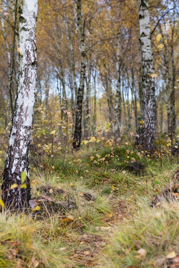 Jesieni brzozy lasu krajobraz obrazy royalty free