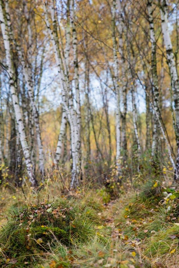 Jesieni brzozy lasu krajobraz zdjęcie stock