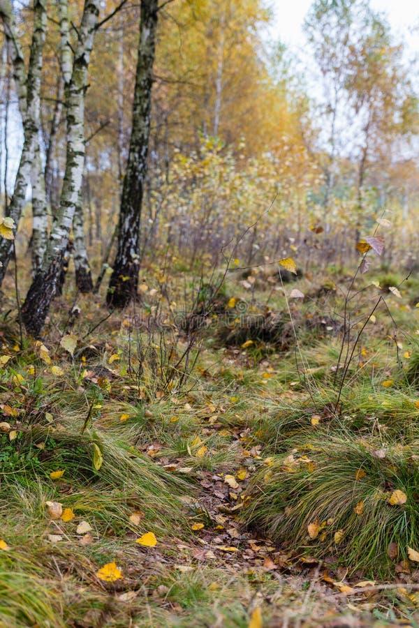 Jesieni brzozy lasu krajobraz obrazy stock