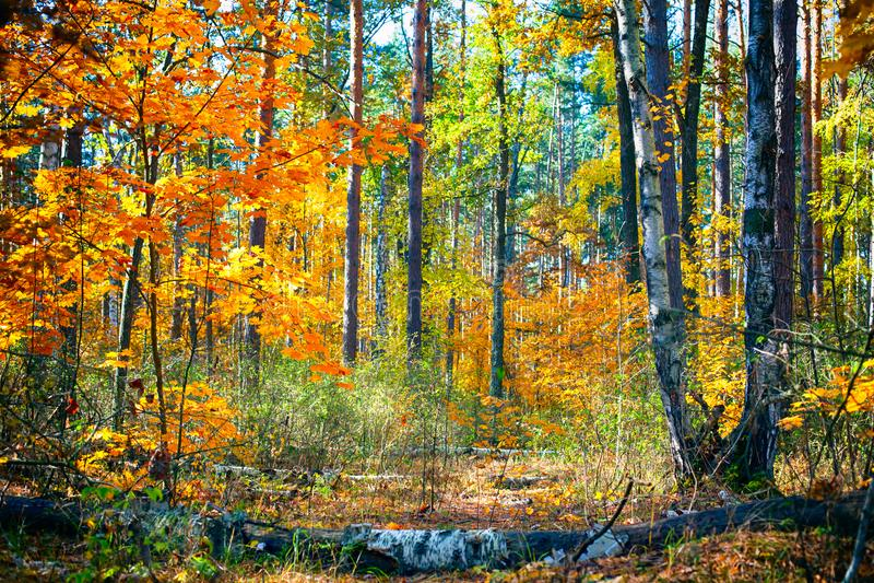 Jesieni brzozy lasy Spadać drzewa na lasowej ścieżce obrazy royalty free